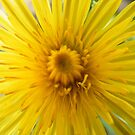 Dandelion flower by Ditherella