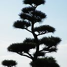 Japanese evergreen tree silhouette by Ditherella