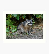 Diurnal Raccoon Poses on the Gravel Art Print