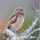 Burrowing Owlet by mlorenz