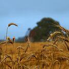Kathy's Misty Wheat Field by velveteagle