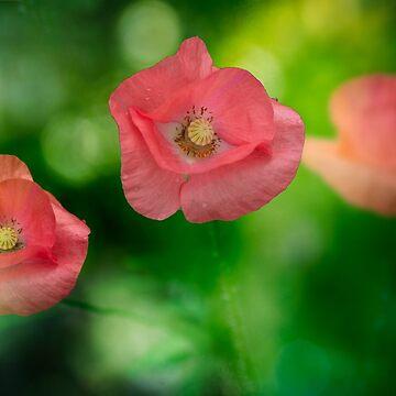 Field pink poppies by LudaNayvelt