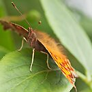 Front View Comma Butterfly by kernuak
