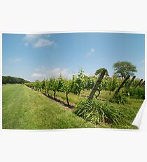 Grape vines Poster