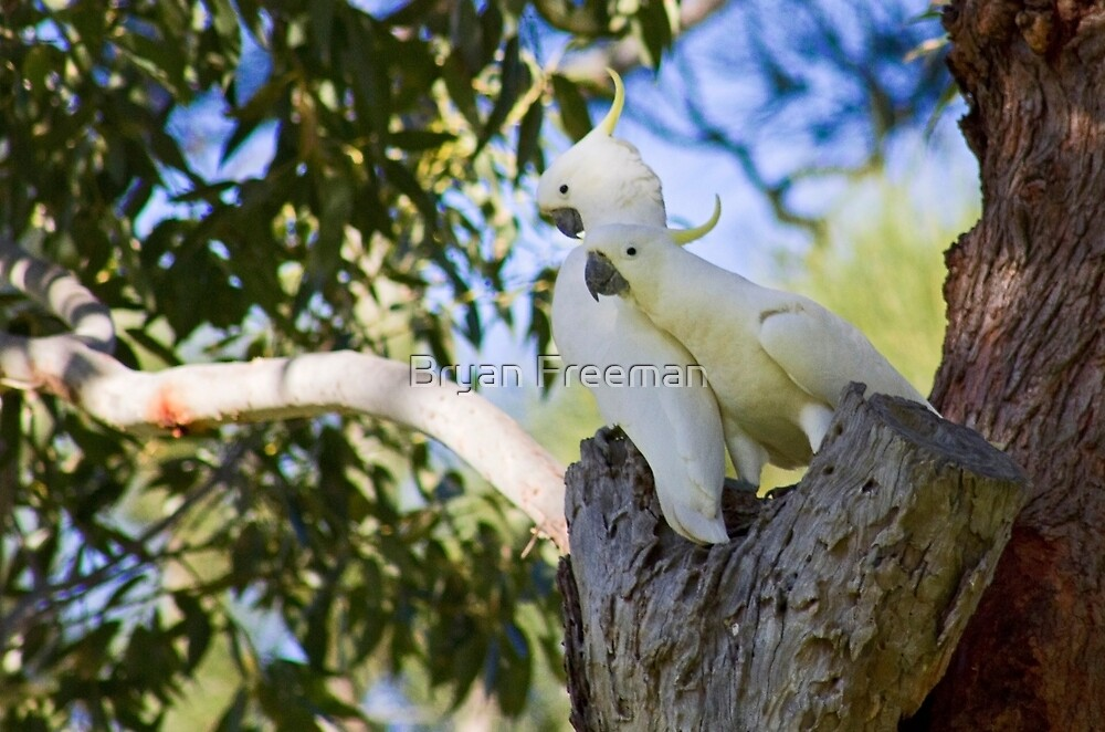Sulfur-Crested Cockatoos - Sydney - Australia by Bryan Freeman