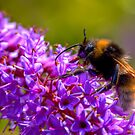 Bee collecting pollen from flower by Richard Majlinder