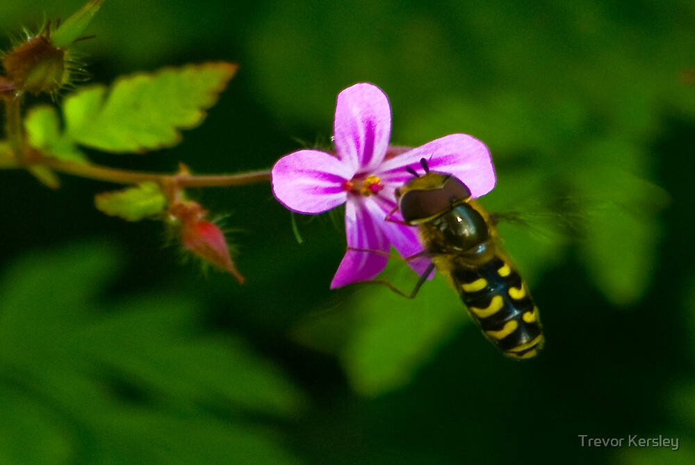 Hoverfly #1 by Trevor Kersley