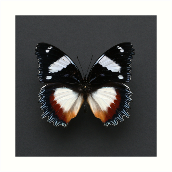 Madagascan Diadem Butterfly by Alyson Fennell