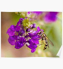 Hoverfly on Linaria Poster