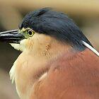 Nankeen Night Heron VI by Tom Newman