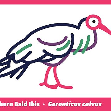 Southern Bald Ibis by anatotitan