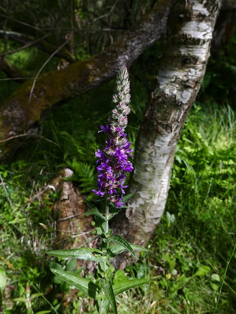 Purple Loosestrife (Lythrum salicaria) by IOMWildFlowers