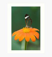 Glasswing Butterfly on Orange Daisy Art Print