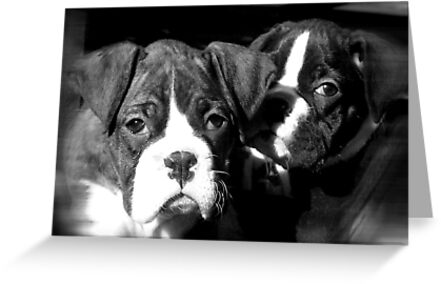 Boxer puppies by ritmoboxers