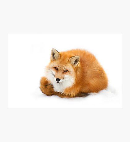 Red fox, Algonquin Park Canada Photographic Print