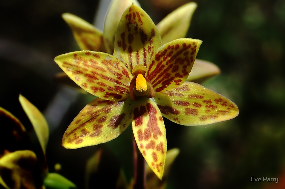 Custard Orchid by Eve Parry