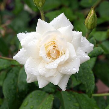 White Rose by Wayne48