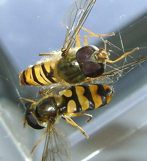 stuck (2 hoverflies) by armadillozenith