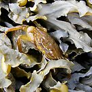 Crabby Camouflage by K Gilks