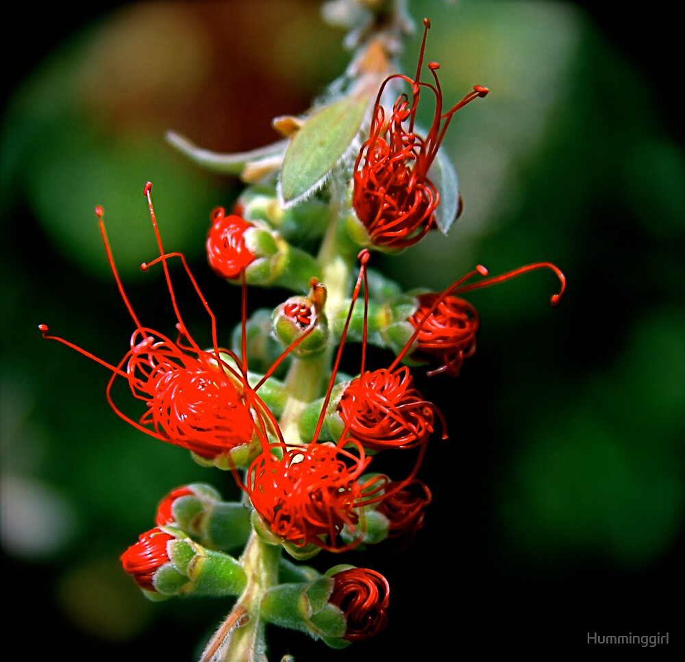 Emerging Bottle Brush Flower by Humminggirl