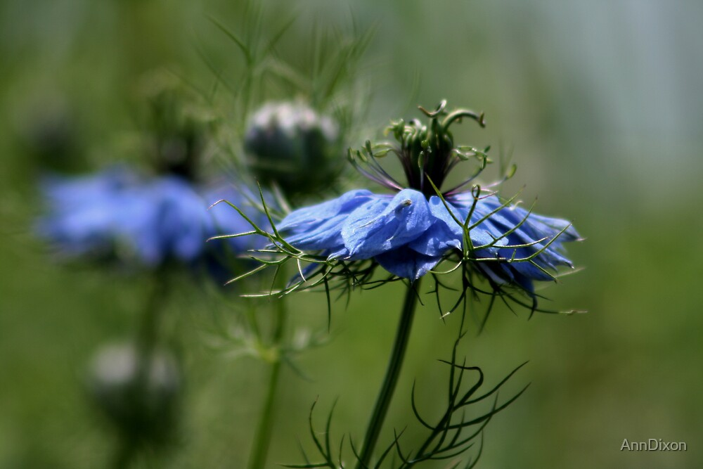 Love-in-a-Mist by AnnDixon