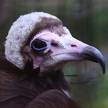 Hooded vulture by Jokus