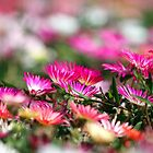 Livingstone daisies by GreyFeatherPhot
