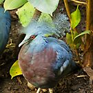 Victoria Crowned Pigeon. by Finbarr Reilly