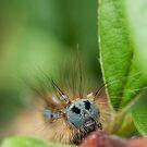 Lackey Moth Caterpillar by kernuak