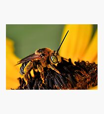 Long-Horned Bee Photographic Print