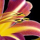 Lily II by gnubier