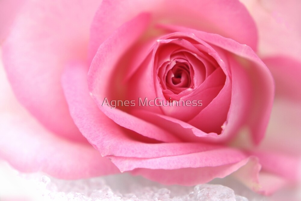 Pink rose on snow by Agnes McGuinness