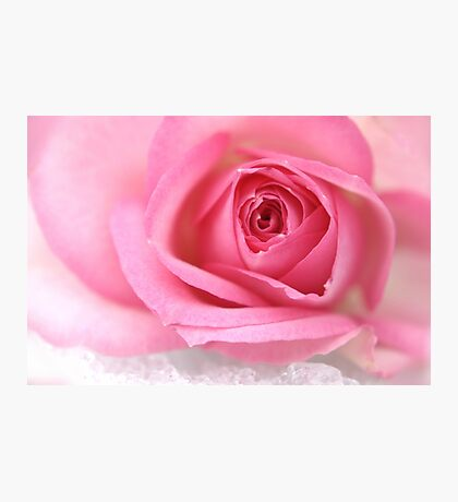 Pink rose on snow Photographic Print