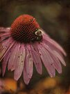 Cone Flower + Bumblebee by Aaron Campbell