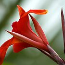 Canna Red by Donna Adamski