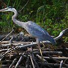Great Blue Heron by Jane Best