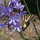 Swallowtail on Agapanthus by Greg Schroeder