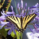 Wounded Swallowtail by Greg Schroeder