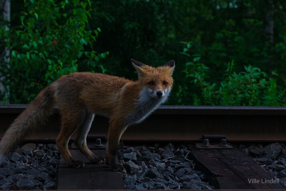 Urban Fox VIII by Ville Lindell