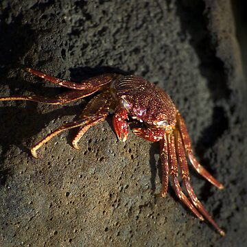Kauai Crab by psart