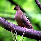 The Mourning Dove by velveteagle