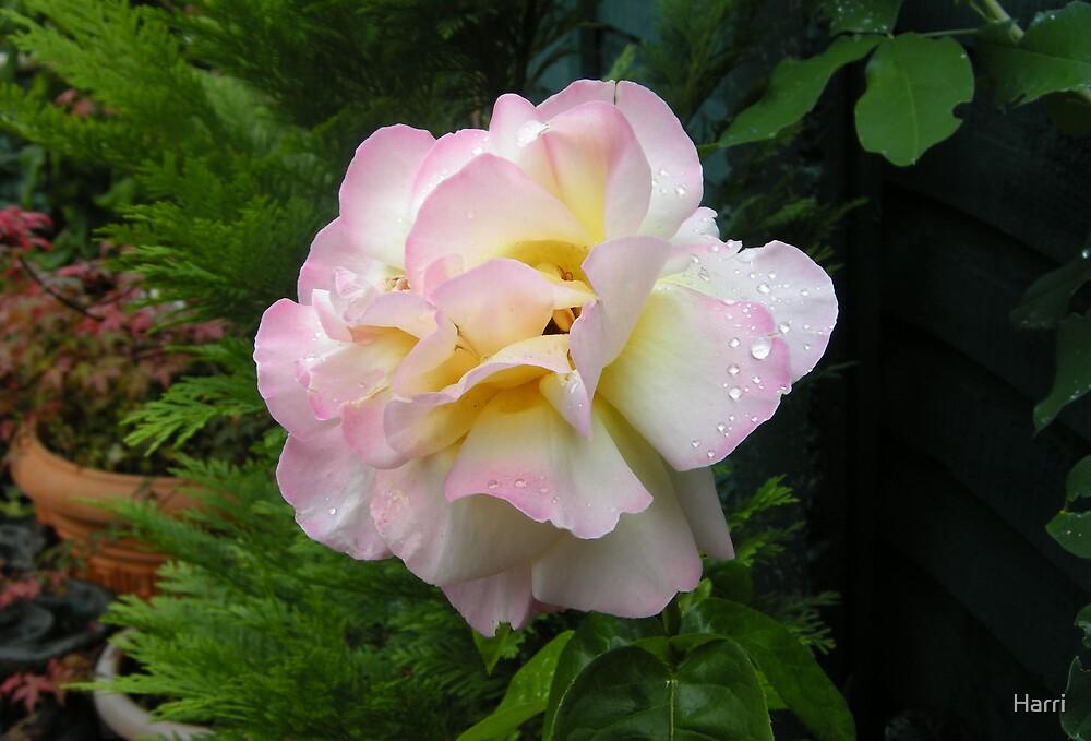 Peace Rose by Harri