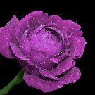 Sparkling Rose by Sandy Keeton