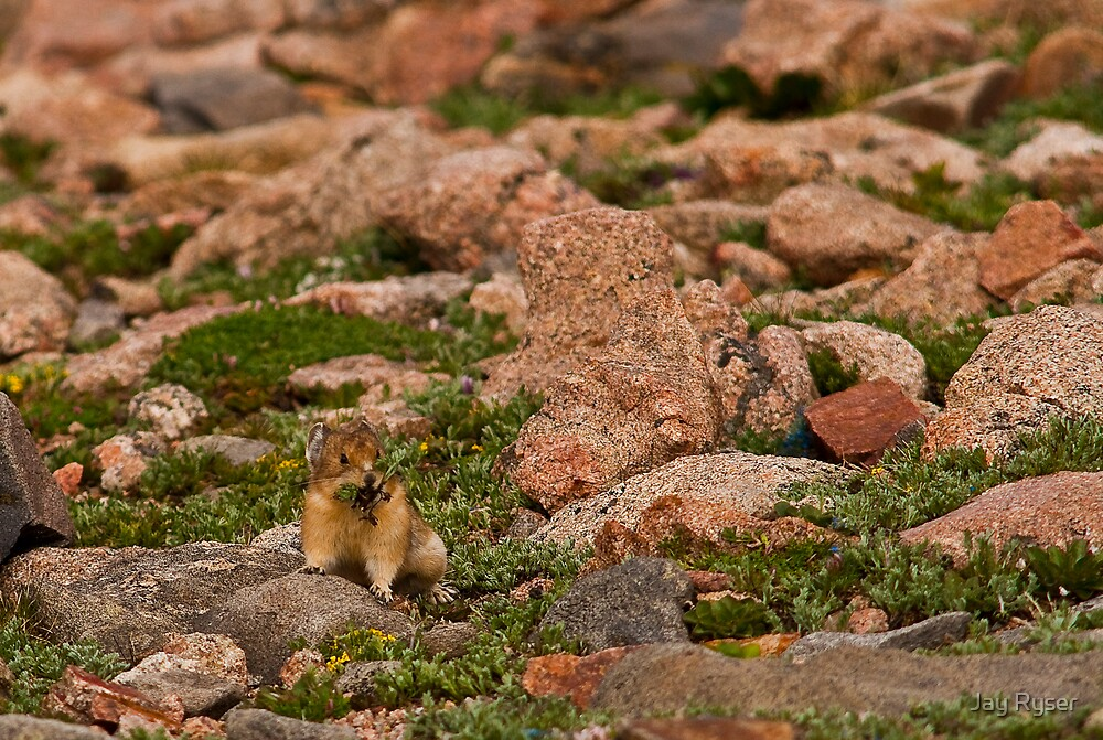 Pika With Wildflowers by Jay Ryser