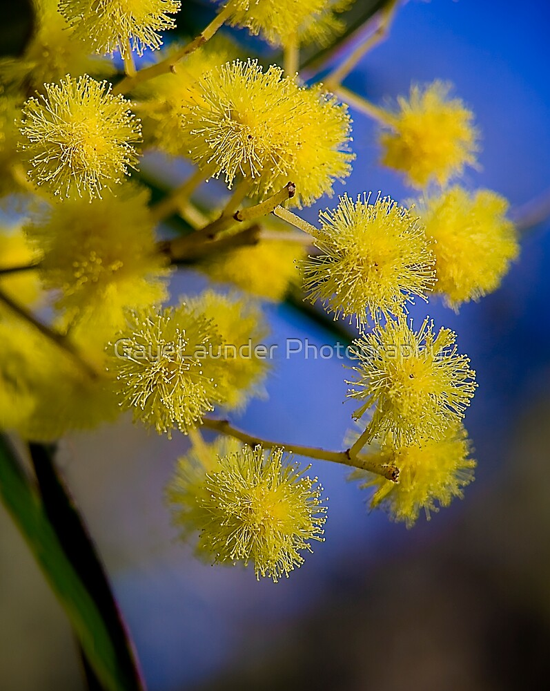 Golden wattle - Australia's floral emblem by GayeLaunder Photography