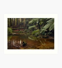 Californian (Giant) Redwoods on the Aire River Art Print