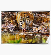 Tiger at Bandhavgarh  Poster