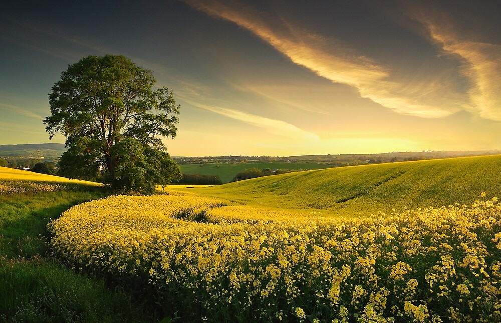 Evening Light  At Rape-Seed Field by Leslie Hanthorne