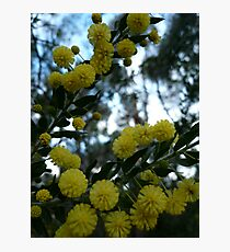 Acacia Blossoms NLP -1 Photographic Print