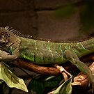 Green Iguana by Ben Hughes